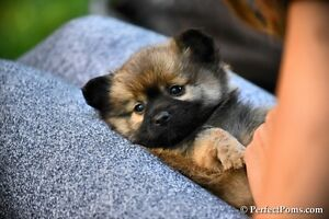 Very friendly female Pomeranian Chihuahua puppy