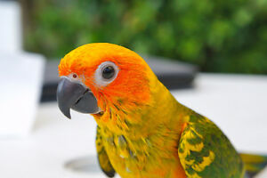 ❤♥☆♥ SUN CONURE ♥ Babies with Cage and Food ♥☆♥❤ Cambridge Kitchener Area image 2