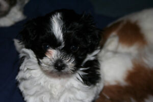Adorable Shih-Tzu Poodle cross puppies for sale