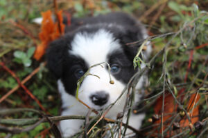 P/B Registered Border Collie Puppies - *Ready for Your Home*