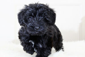 Perfect Schnoodle babies **Hypoallergenic and nonshed**