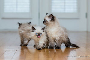 Himmy long haired kittens-  Himalayan kittens