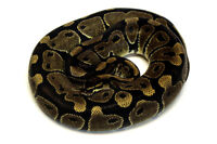 2013 Normal Female Ball Python - Ready to breed!