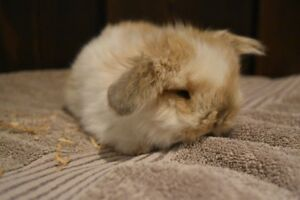 2 Adorable Identical Pure Bred Holland Lop Bucks
