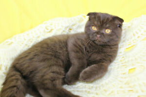 Purebred TICA Registered Scottish Fold & Straight Kittens