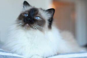 Purebred Birman Cat for Rehoming