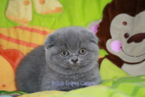 Amazing Pure breed Scottish fold and Scottish straight!!!