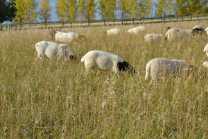 Sheep - Dorper ewe lambs