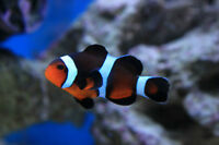 Pair of Black Onyx Clownfish