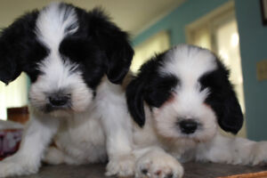 ADORABLE,  registered Tibetan Terrier puppies to approved homes