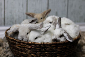 Adorable Baby Mini Lop Bunnies *Only 2 Left*