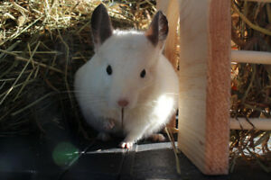 Hay for Chinchillas, Guinea Pigs, and Rabbits (Timothy Mix)