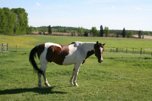 Beautiful 8 Year Old Paint Gelding