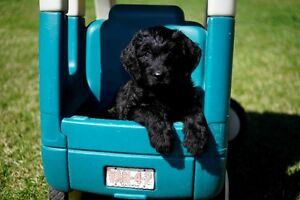Only 3 labradoodle Puppies avalible- updated  may 5
