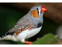 2 male zebra finches with cage