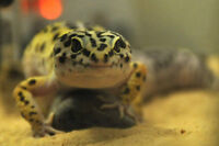 PRICE REDUCED Two 1-year-old geckos with all accessories
