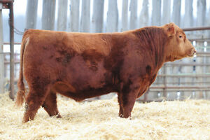 HAHN/CAJUN/TNF ANGUS - BLACK and RED Angus Bulls for Sale
