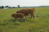 Registered Simmental Cow/Calf Pairs