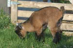 Nigerian/Pygmy Goat Kid for Sale!