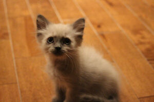 Chatons himalayens pure race West Island Greater Montréal image 6