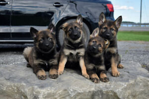 Stunning purebred CKC registered GERMAN SHEPHERD PUPPIES