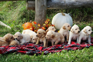 Working Labrador Retriever Puppies