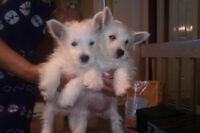 Chiots West Highland