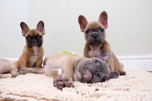 Top Quality french Bulldog Puppies