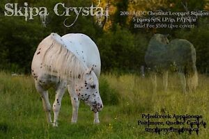 Reg'd Appaloosa Stallion At Stud