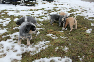 2 Blue Heeler puppies for sale