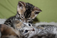 Registered/TICA Bengal Kittens Available