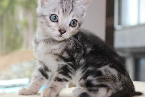 (Sold) Registered Purebred Marbled Silver Bengal kitten.