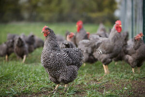 Looking for Barred/Plymouth Rock Laying Hens