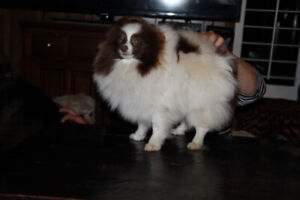 CKC Pomeranian puppies males/females