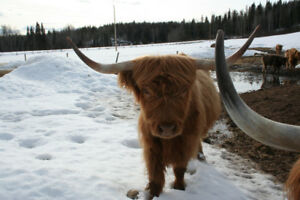 Highland Cow for Sale