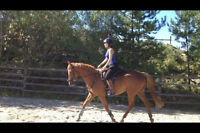 6yr old Morgan/QH Gelding