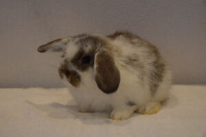 Beautiful Purebred baby Holland Lop bunnies for sale
