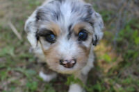 Awesome Aussie Shep/cross Pups