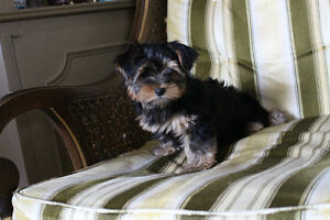 Champion Sired CKC reg  Yorkshire Terriers Kitchener / Waterloo Kitchener Area image 3