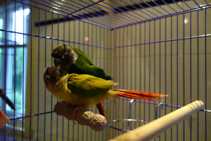 Couple de perroquets conures canelle et yellowside!