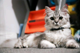 Pure Maine Coon (Silver Tabby)