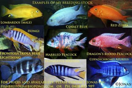 African Cichlids........8 breeding or display colonies! Ormeau Gold Coast North Preview