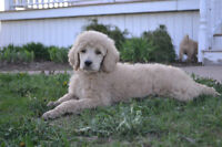 Pure Breed Standard Poodles