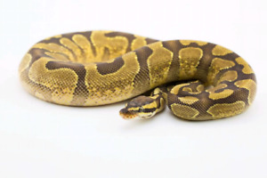 Females Yellow belly Fire & Yellow Belly Enchi 2017