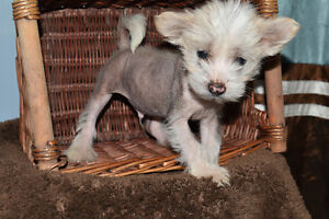 Chinese Crested Puppy - Available now!!