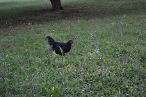 Rooster's For Sale