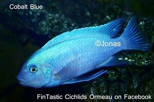 Cobalt Blues......+15 other African Cichlids direct from breeder Ormeau Gold Coast North Preview