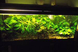 Large Anubia Plants For Sale