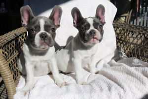 Beautiful blue pied puppies for sale