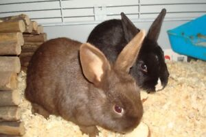 Pair of Cute Baby Bunnies With Large Cage & Accessories